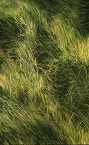 Cord grass, oil on canvas